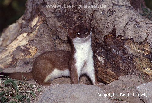 Hermelin / Stoat