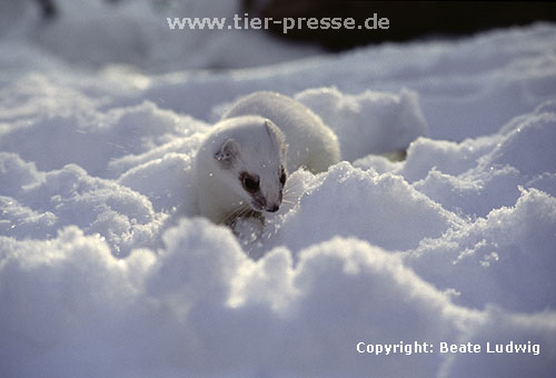 Hermelin im Winterfell / Stoat in winter coat