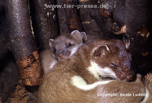 Hermelin-Mutter und Jungtiere im Nest / Stoat, mother and cub
