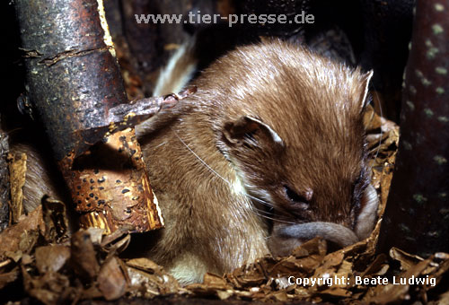 Hermelin-Mutter und Jungtiere im Nest: Die Nutter beleckt die Anogenitalregion eines Jungtieres. / Stoat, mother licking its cub