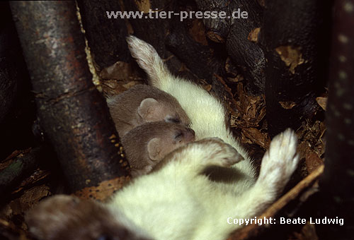 Hermelin-Mutter und Jungtiere im Nest: Die Jungtiere saugen. / Stoat, mother and cubs, suckling