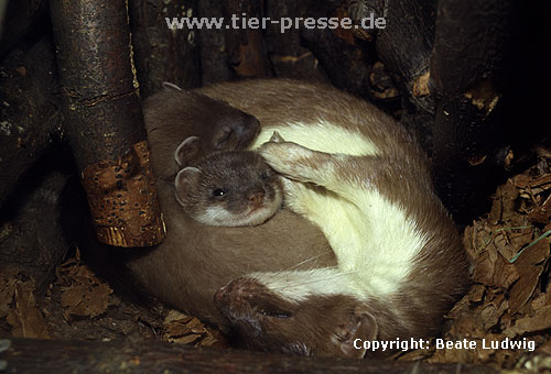 Hermelin-Mutter und Jungtiere im Nest / Stoat, mother and cubs