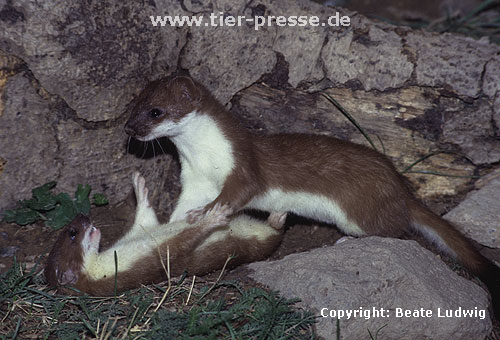 Spielende junge Hermeline: Rechts R�de, links F�he / Young stoats, male and female, playing