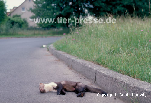 Steinmarder Verkehrsopfer / Beech marten killed by a car