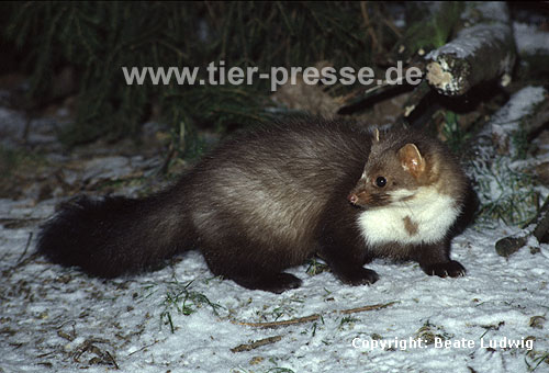 Steinmarder-F�he im Schnee / Beech marten, (female) in the snow / Martes foina