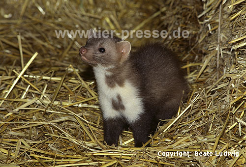 Steinmarder-R�de mit ungew�hnlich geformten Kehlfleck / Beech marten, male with unusually shaped throat-patch