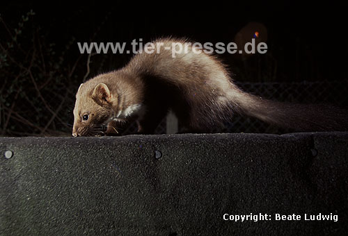 Steinmarder-F�he auf dem Dach / Beech marten female on a roof