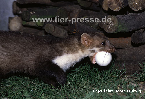 Steinmarder-F�he transportiert ein H�hner-Ei / Beech marten female carrying an egg