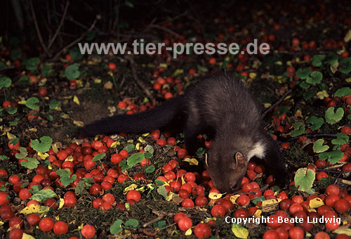 Steinmarder-F�he frisst Mirabellen / Beech marten female eating small yellow plums