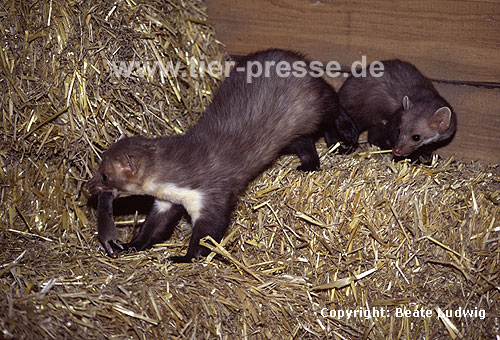Steinmarder R�de frisst eine Maus, F�he beobachtet R�den / Beech marten male eating a mouse, female watching male