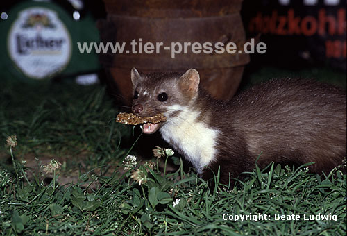 Steinmarder F�he mit Brotrest / Beech marten female with bread