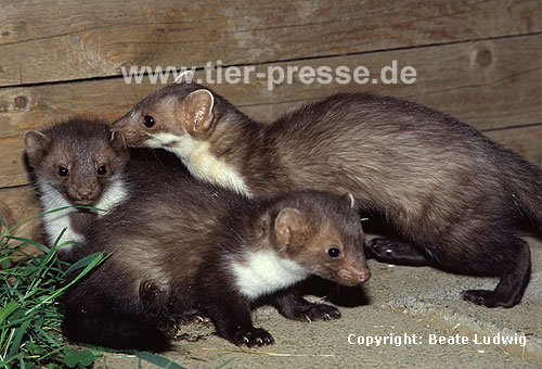 Steinmarder-F�he (rechts) mit Jungtieren / Beech marten female (right) and cubs