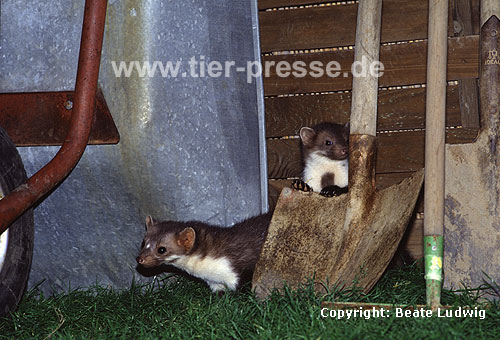 Steinmarder-F�he (links) mit Jungtier (rechts) / Beech marten female (left) and cub (right)