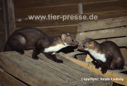 Steinmarder-F�he (rechts) mit Jungtier (links) / Beech marten female (right) and cub (left)