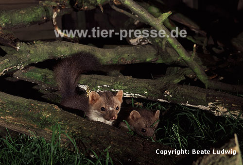 Steinmarder-F�he (links) mit Jungtier (rechts) / Beech marten female (left) with cub (right)