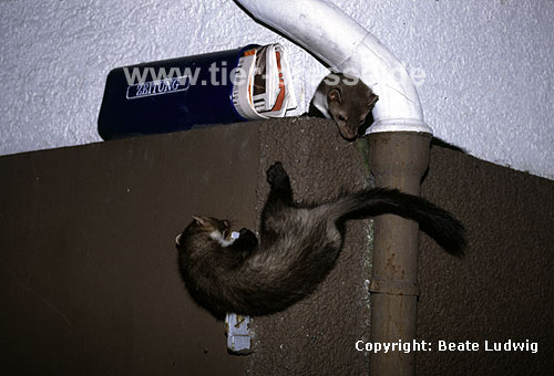 Junge Steinmarder klettern und spielen an einer Hauswand / Young Beech martens climbing and playing at the wall of a house