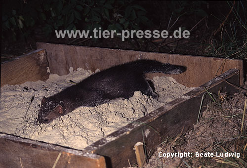 Junger Steinmarder-R�de spielt in einem Sandkasten / Young Beech marten (male) playing in a sand box