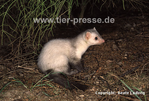 Steinmarder-R�de mit heller Fellf�rbung / Beech marten (male) with whitish fur