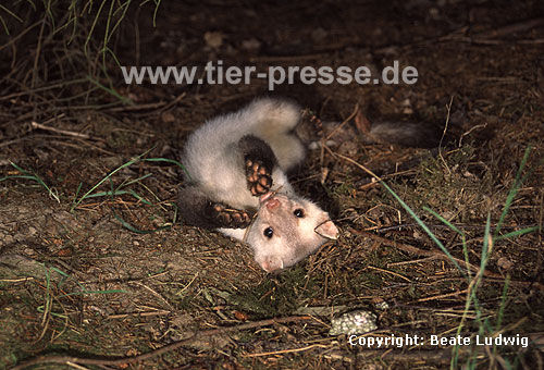 Steinmarder-R�de mit heller Fellf�rbung beim Spielen / Beech marten (male) with whitish fur showing play behaviour