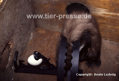 In Abzugseisen get�teter Steinmarder / Beech marten killed by a trap